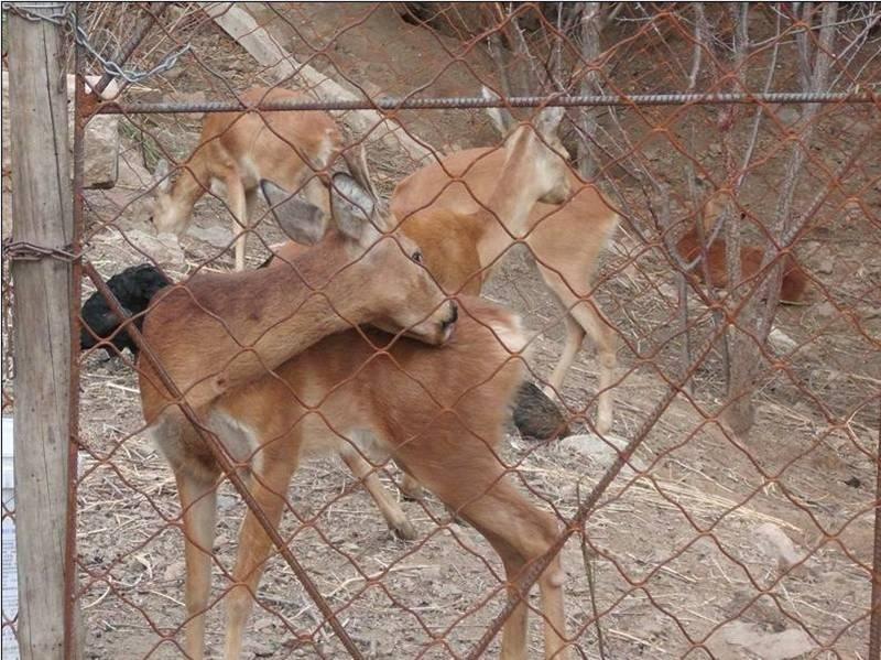 狍子:又称矮鹿、野羊,属偶蹄目鹿科,草食动物。狍身草黄色,尾根下有白毛,雄狍有角,雌无角。狍是经济价值比较高的兽类之一。狍子食各种青植物,抗病力极强,易驯化,好管理,周期短,成本低,效益高,也是致富的好项目,秋冬食干植物茎叶、草粉、秸秆粉、耐温差(零下45度—零上38度),肉纯瘦,营养丰富,细嫩鲜美,有温脾胃、强心润肺、利湿壮阳、延年益寿之功效,肉价一般在100元/公斤以上。